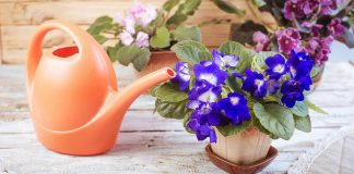 how often do you water an african violet