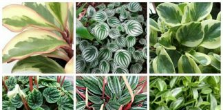 peperomia varieties and types